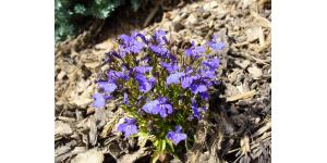 violette-paillage